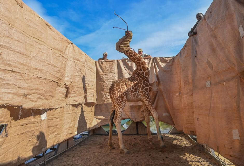 Schlanker Hals, dynamische Pose: Ami Vitale hat dieses Foto einer Giraffe im vergangenen Dezember gemacht.