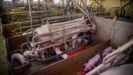 Die Grünen und ihr Schweinsproblem