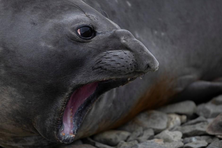 Manche haben Pinguine zum Fressen gern: Robbe auf Snow Island.