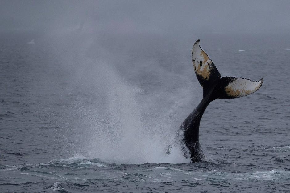 Auf die Flosse kommt es an. Welcher Wal taucht hier vor Orne Harbour?