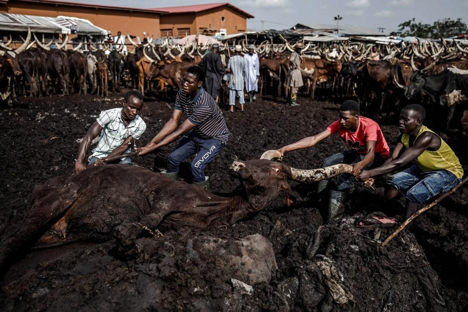 Eine Gruppe von Hirten zieht auf dem Kara-Viehmarkt in Lagos eine Kuh aus dem Schlamm.