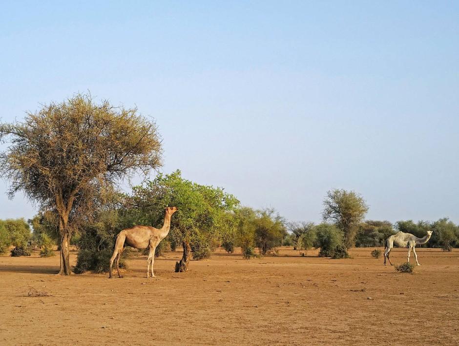 Ein Kamel frisst von einem Baum an den Rändern vom Departement Walade.