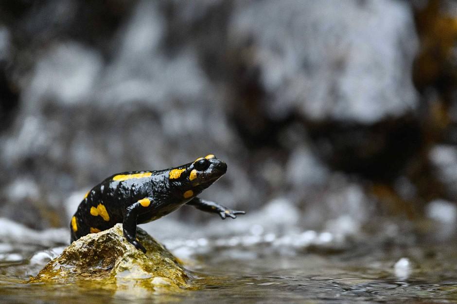 Im Frühjahr wandern die Feuersalamander aus den Wäldern zu ihren Laichgewässern. Die Tiere sind lebendgebärend und setzen ihre Larven bevorzugt in die fischfreien Oberläufe der Bäche ab.