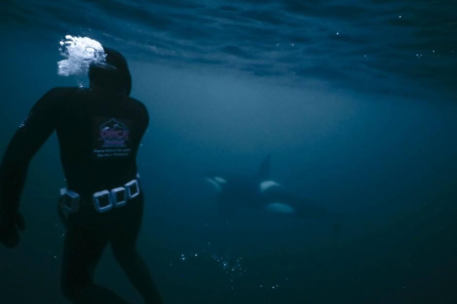 Unter Wasser lässt sich bestens beobachten, wie die Schwertwale die Heringe jagen.