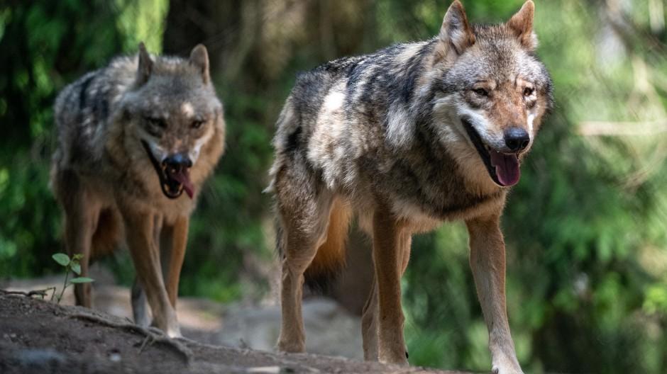 Wölfe spazieren im Bayerwald-Tierpark in Lohberg durch das Gehege. (Symbolbild)
