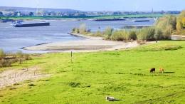 Die Natur darf wieder an den Rhein