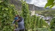 Riesling-Ernte: Mit einem Gefälle von bis zu 65 Grad zählen die Steillagen im Bremmer Calmont an der Mosel zu den steilsten Weinlagen Europas.