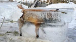Jäger stellt ertrunkenen Fuchs im Eisblock als Warnung aus
