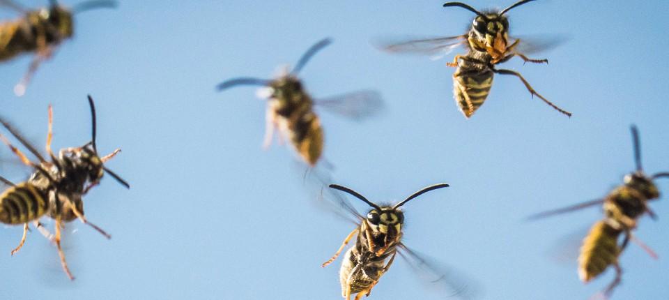 Stirbt Eine Wespe Nach Dem Stich