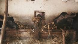 Büffelmilch aus Rumänien
