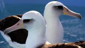 Alte Albatrosse jagen schlecht