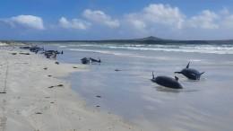 Fast hundert Grindwale in Neuseeland gestrandet