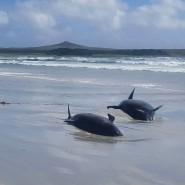 Viele der Wale auf den Chatham Islands waren schon verendet, bevor Helfer sie retten konnten.