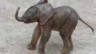 Erste Gehversuche des neugeborenen Elefantenkalbes