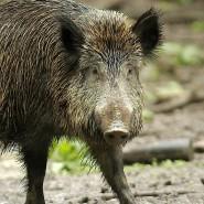 In Deutschland ist der erste Fall der afrikanischen Schweinepest nachgewiesen worden. (Archivbild)