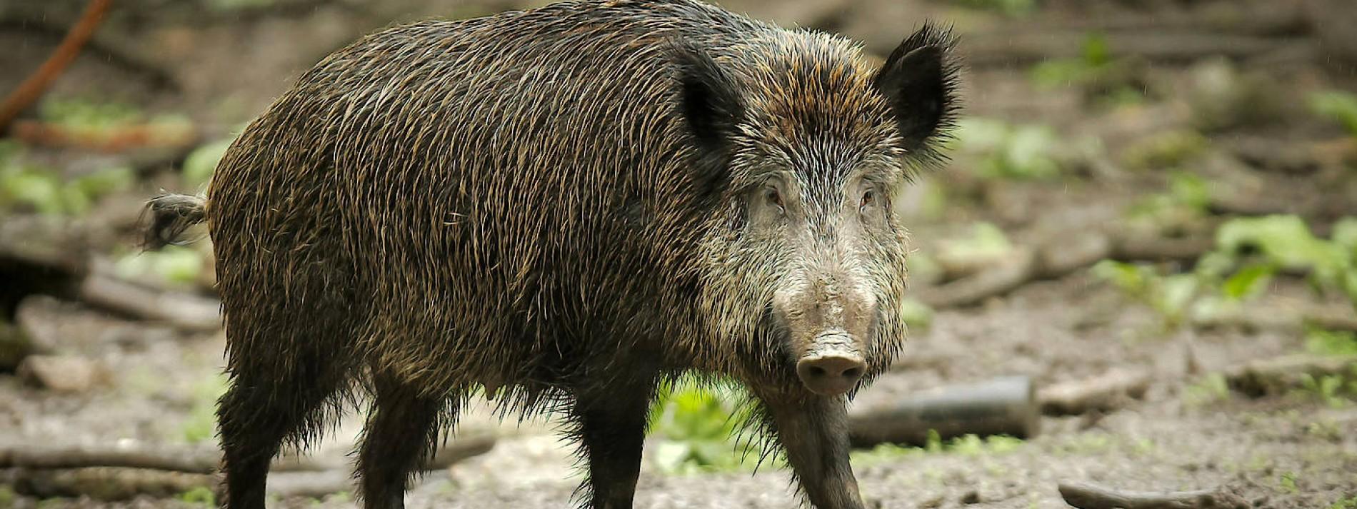 Afrikanische Schweinepest in Deutschland nachgewiesen