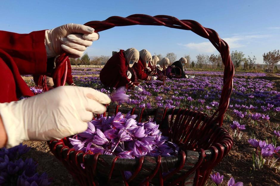 Im afghanischen Herat ernten Frauen Safran. Für ein Kilo benötigt man rund 200.000 Blüten des violetten Crocus sativus.