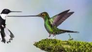 Komm mir nicht zu nahe: Jan van der Greef hielt diesen tierischen Abstandshalter aus dem ecuadorianischen Dschungel im Bild fest. Der Schwertschnabelkolibri hat von allen Kolibris den längsten Schnabel, den er nicht nur für die Nektarsuche einsetzt.