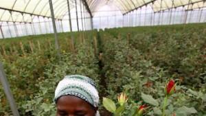 Tote Rosen in Kenia