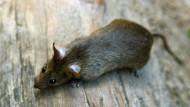 Neuseeland will bis 2050 frei von Ratten sein
