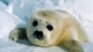 Frohe Botschaft für die Robben