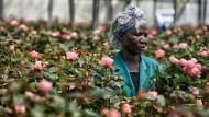 Die Reise der Rosen