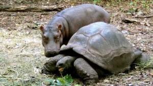 Schildkröte macht Hippo wieder happy