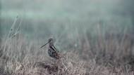 Feucht muss es sein: Bekassine in einem norddeutschen Moor