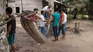 Riesenpython verschlingt Frau in Indonesien