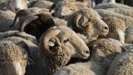 Schaf erschlägt Kind
