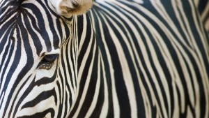 Esel als Zebra angemalt?