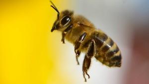 Gegengift gegen Bienenstiche wird getestet