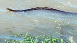 In den Fluten lauern Krokodile und Schlangen