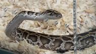 Eine Python im Zoo von Miami – in Indonesien soll eine Schlange dieser Art einen erwachsenen Mann samt Gummistiefeln verschlungen haben.