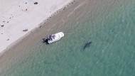 Ein weißer Hai vor der Halbinsel Cape Cod im Südosten von Massachusetts. Vermutlich steckt diese Hai-Art hinter der tödlichen Attacke auf eine junge Surferin in Australien.