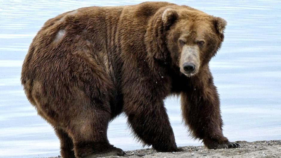 """Ach du dicker Bär: """"Jumbo Jet"""" hat im Sommer ordentlich zugelegt."""