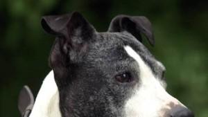 Leinen los für Pit Bull Terrier