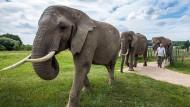 Sonni Frankello führt Elefantenkuh Mala und einige ihrer Artgenossen zum täglichen Training. Tierschützer wollen verhindern, dass Mala bei den Schlossfestspielen in Schwerin auf die Bühne kommt.