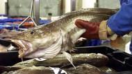 Ein Fischhändler wiegt am auf dem Fischmarkt in Lowestoft in Großbritannien Kabeljau. (Archiv-Foto)