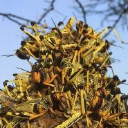 Im Kampf gegen die Heuschreckenplage in Ostafrika wurden große Erfolge erzielt - doch die Gefahr ist Experten zufolge noch lange nicht gebannt. (Archivbild aus dem Juni 2020 in Kenia)
