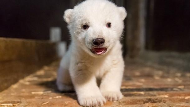 Berliner Eisbärbaby Fritz ist tot