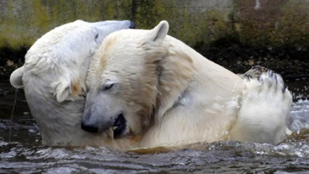 Eisbären knut rechts hier mit eisbärdame gianna gefordert