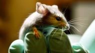 Maus im Labor: Ohne Versuchstiere geht es nicht