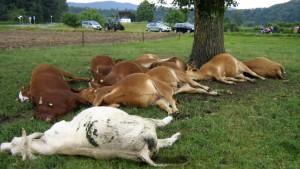 Elf Kühe durch Blitzeinschlag getötet
