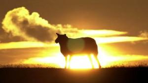 Briten untersuchten Rinder statt Schafe