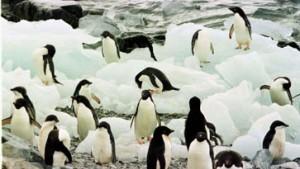 Riesiger Eisberg und Raubmöwen bedrohen Pinguine