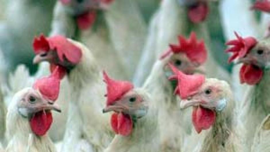 Hühner müssen zur Sicherheit auch in Deutschland im Stall bleiben