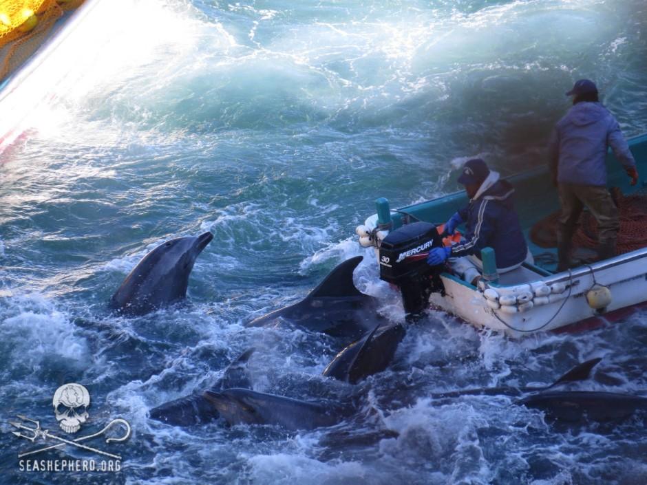 Bilder der Treibjagd in Taiji (von der Umweltschutzorganisation Sea Shepherd veröffentlicht)