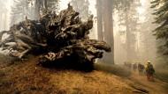 Mammutbäume werden mit Alufolie vor Waldbränden geschützt