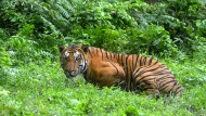 Ein Tiger in einem indischen Nationalpark (Archivbild). In China ist eine Frau im Safaripark aus dem Auto ausgestiegen und von Tigern angefallen worden.